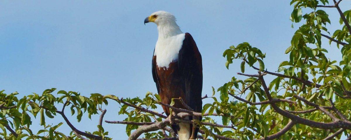 African Fish Eagle - Bird Watching Western Tanzania