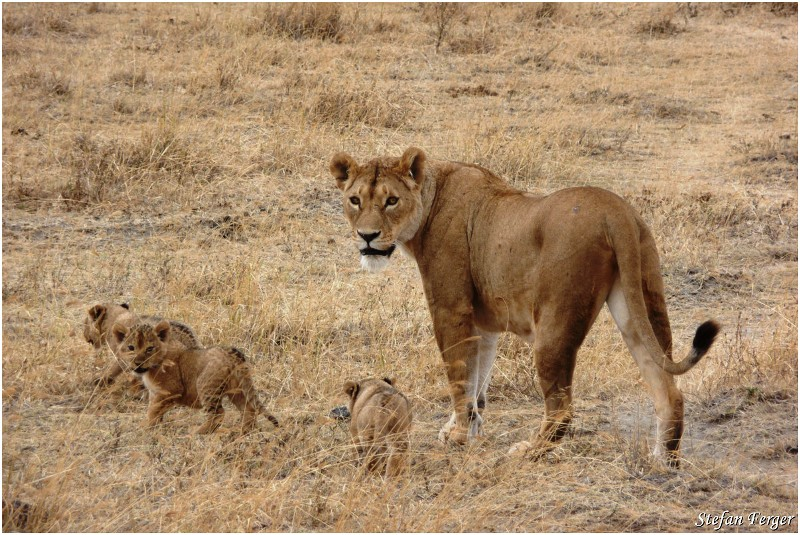 A lioness and 3 curbs - 4 Days Serengeti Camping