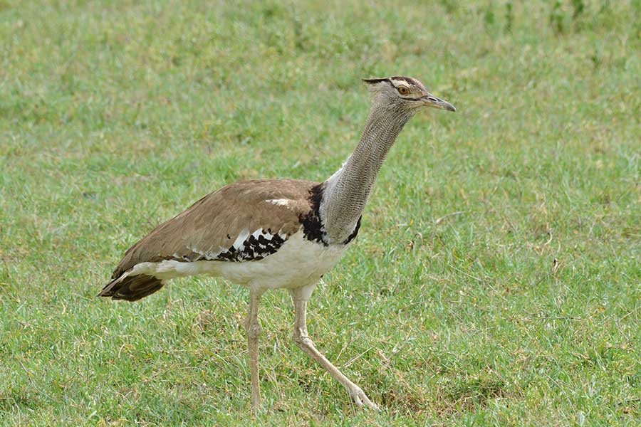 Kori Bustard - Bird Watching Northern Tanzania
