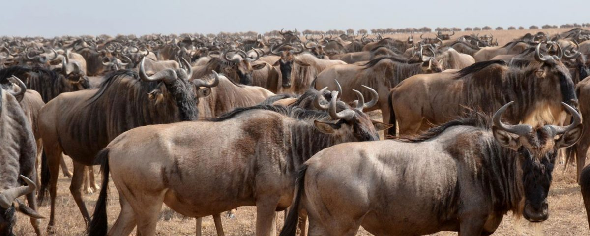 wildebeest migration - 4 Days Serengeti Camping Safari