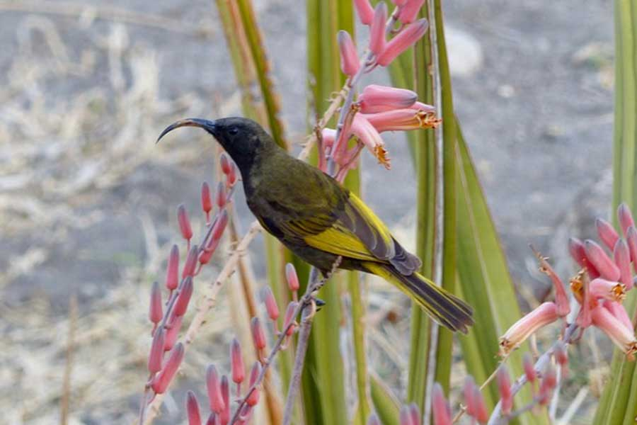 natron-bird